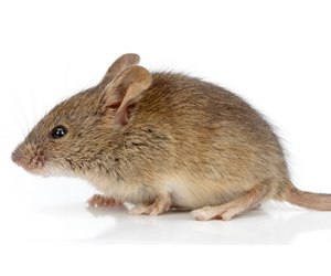 The House mouse in Miami can be controlled.