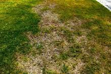 Lawn Fungus?