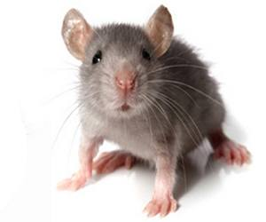 Mus mice control in Miami can reduce harmful disease.