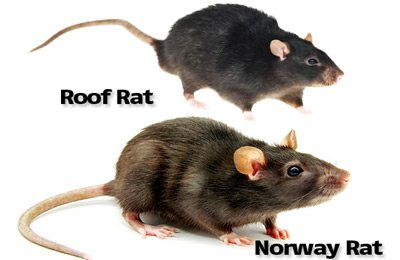 Florida's two most wanted rodents are the roof rat and the Norway rat.