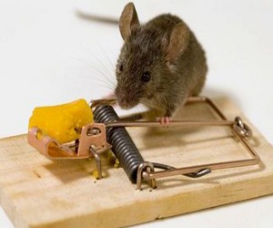 Mouse control can include the use of traps.