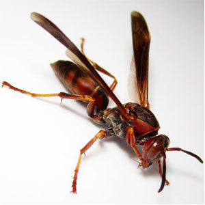 The Northern Paper Wasp builds paper-like nests outside in wooded areas.
