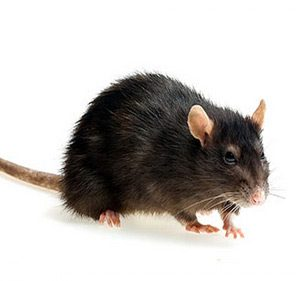 The Norway rat, or Brown Rat is often used in laboratories.