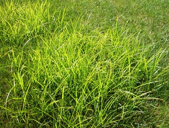 Common weeds in Miami lawns include nutsedge.