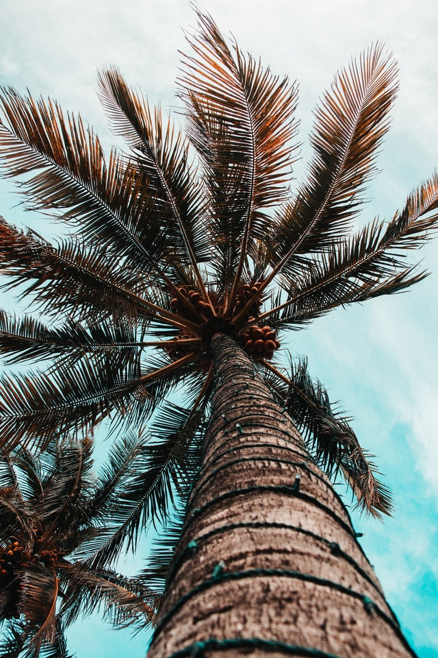 Lethal bronzing is a palm tree disease a Miami tree arborist can prevent.