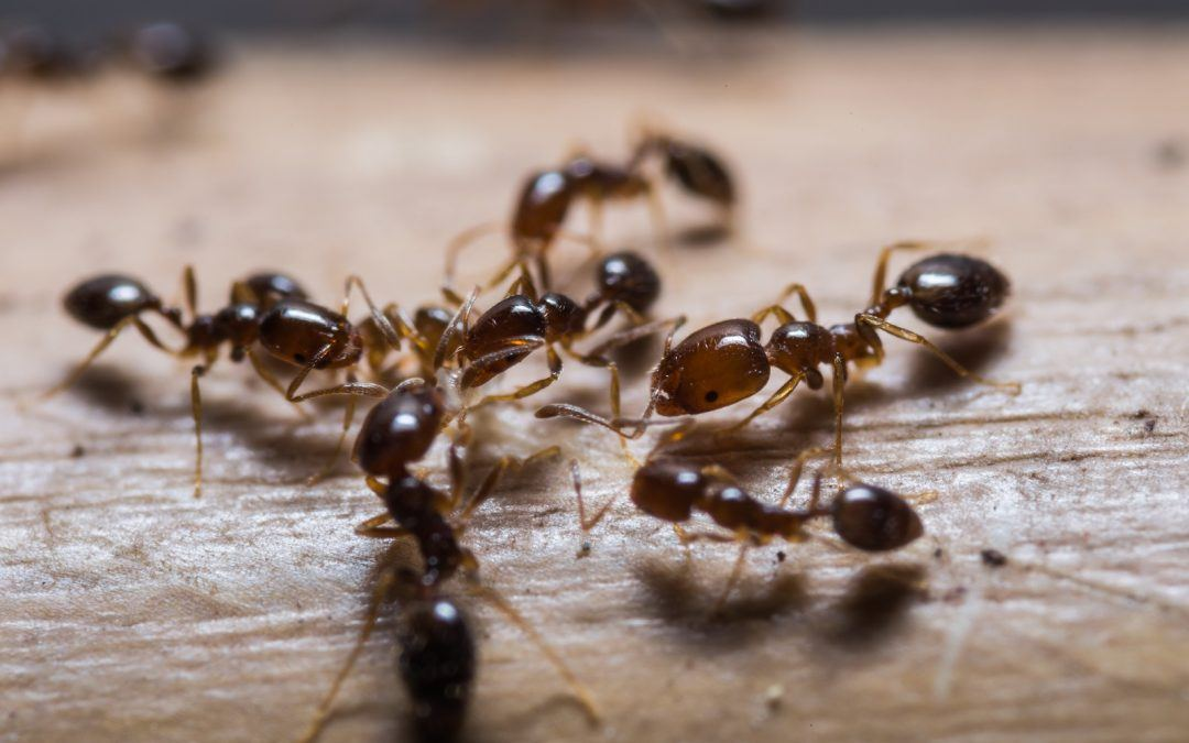 Five Facts You Should Know About Sugar Ants