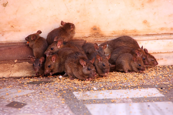 In Miami, rodent control includes minimizing their breeding.