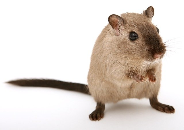 Rats can be one of the most valuable Pest Control Services Miami receives.