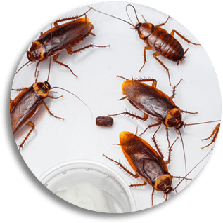 The Florida cockroach multiplies quickly.