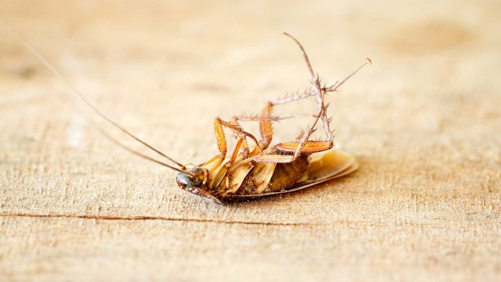 A dead roach may still be a sign of roach infestation.