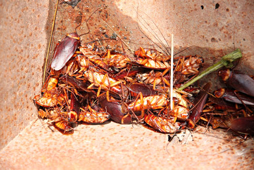 Cockroach control is essential to limit breeding and infestation.