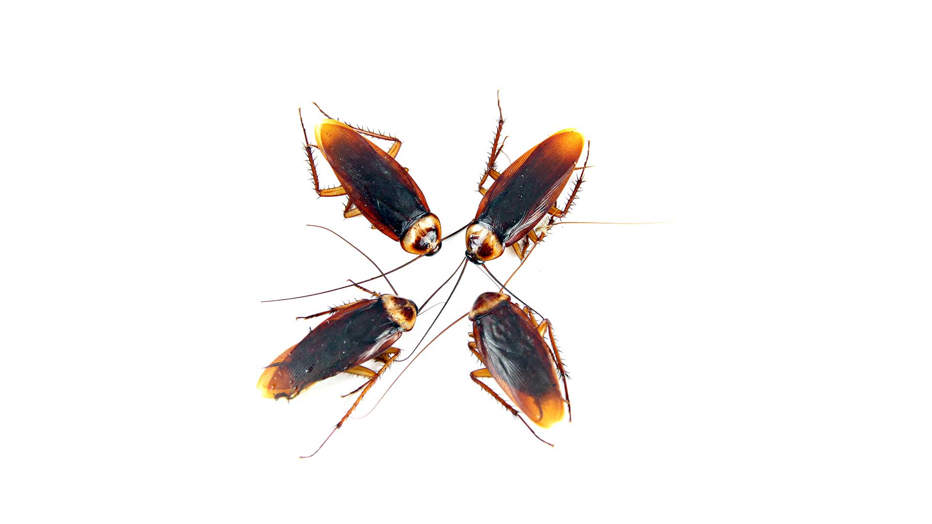 Extermination of roach infestation is a One Two Tree strength.