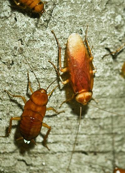Cockroach control technicians from One Two Tree Pest Free service will curtail breeding of cockroaches.
