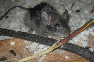Rodent bites on electical wires is a common indicator of rodent infestation.
