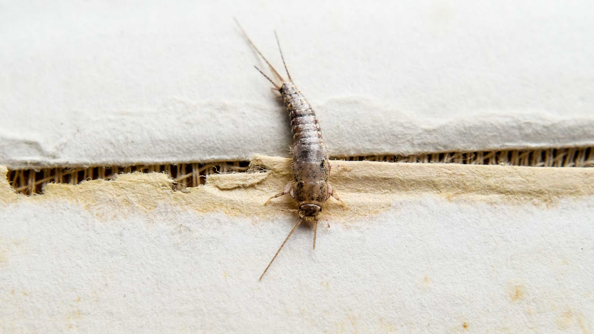 Silverfish in Miami are pest that harm lawns and trees.