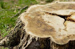 Stump removal is recommended after a tree is taken down.
