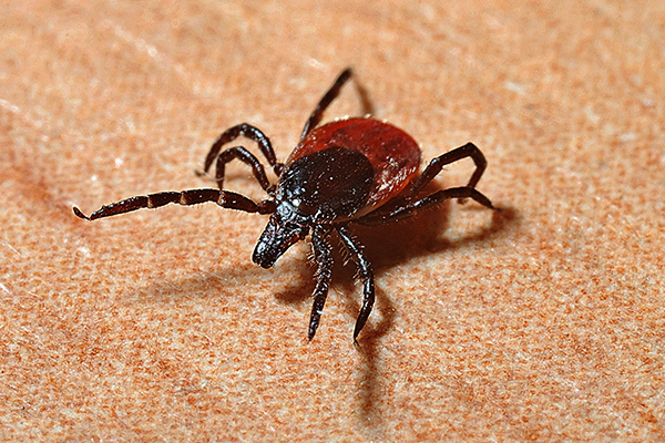 Tick removal from a human being needs to be done quickly.