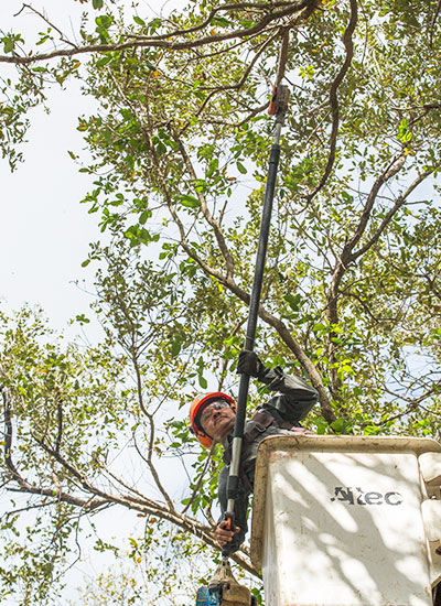In Miami, trees need trimming service often due to the high rate of growth.