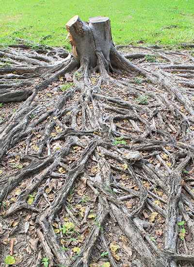Attempts at removing a tree stump by an amatuer can result in injury or unexpected tree growth.