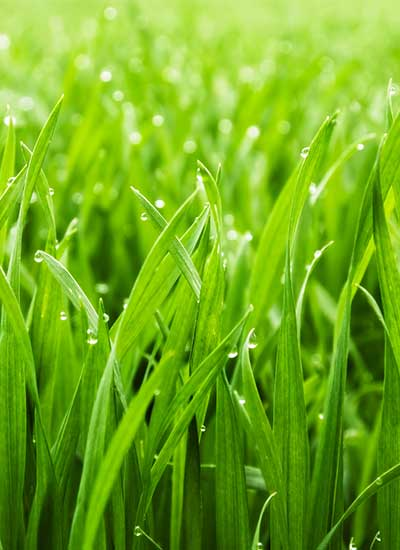 Lawns that are valued may thrive when cut properly.