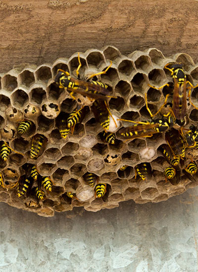 One Two Tree can exterminate nests of wasps in Florida with its proven techniques.