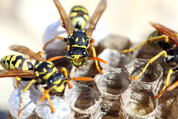 Wasps can build large nests that are intrusive to human living conditions.