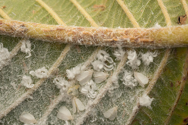 what-is-whitefly1