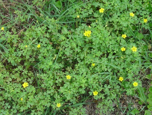 Common weeds in south florida lawns one two tree bright yellow flowers have five petals prolific seed producer pods will scatter seed for several feet when touched mightylinksfo Images